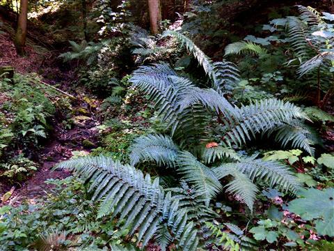 Wurmfarnbestand im Schluchtwald.