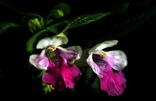 Blüten des Immenblatts (Mellitis melissophyllum) in Großaufnahme