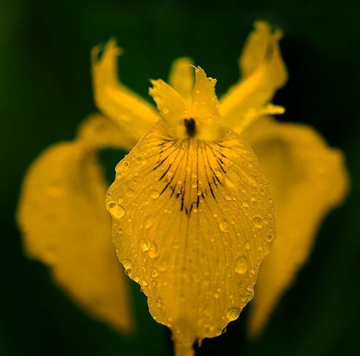 Sumpfschwertlilie (Iris pseudacorus) nach Regen.