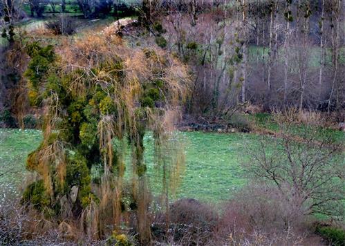Mistelbesetzte Bäume