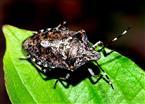 Schildwanze (Rhaphigaster nebulosa)