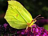 Zitronenfalter (Gonepteryx rhamni) männlich