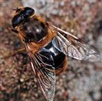 Schwebfliege (Eristalis tenax)