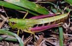 Gemeiner Heuhüpfer (Chorthippus parallelus), Weibchen.