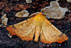 Herbstspanner (Ennomos autumnarius)