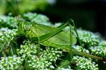 Zwitscherheupferd (Tettigonia cantans), Weibchen.