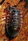 Mauerassel (Oniscus asellus)