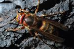Hornisse in Rückenansicht (Vespa crabro)