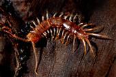 Steinläufer (Lithobius forficatus)