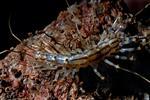 Spinnenassel (Scutigera coleoptrata)