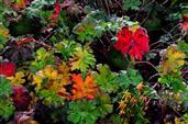 Geranium-Blätter im Herbst.