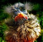 Amsel (Turdus merula) Jungvogel