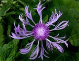 Flockenblume (Centaurea cf. alpestris)