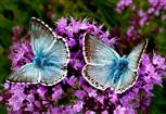Blaugrüner Bläuling (Lysandra coridon)