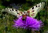 Apollofalter (Parnassius apollo) und Honigbiene (Apis mellifera).