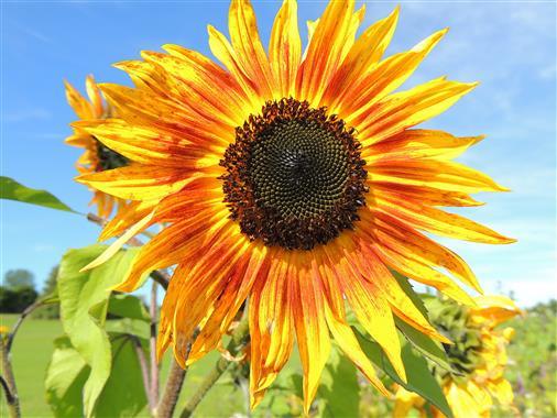 Sunflower  - Im Wildblumenfeld