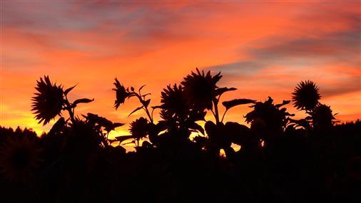 Sonnenblumenfeld im Abendrot
