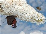 Biene und Tagpfauenauge auf Schmetterlingsflieder