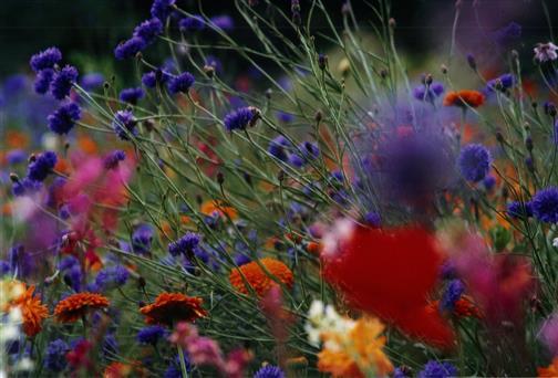Wildackerblumen im Spätsommer