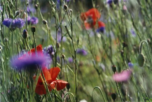 Wildackerblumen
